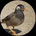 チャドクガを食べる鳥